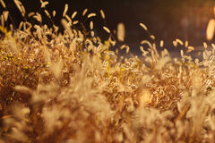 Grass backlit by sunshine Royalty Free Stock Photography