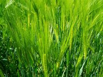 Grass, Barley, Food Grain, Field stock image