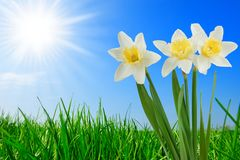 Grass and beautiful narcissus royalty free stock photos