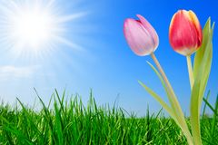 Grass and beautiful tulips royalty free stock photos