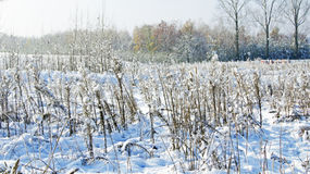 Grass bending under the snow. On the meadow- field Stock Images