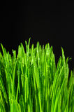 Grass on a black background. Macro view Royalty Free Stock Photography