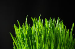 Grass on a black background. Macro view Stock Image