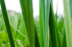 GRASS BLADE Royalty Free Stock Photography