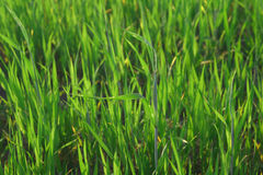 Grass blades Royalty Free Stock Image