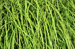Grass, Blades Of Grass, Grasses Stock Photography