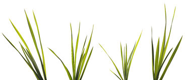 Grass Blades Isolated on White Royalty Free Stock Photography