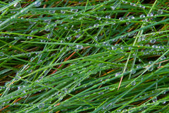Grass blades 1. Macro of grass with morning dew Stock Images