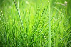 Grass blades Royalty Free Stock Photo