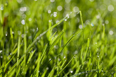 Grass blades with water drops. Fresh spring grass blades with water drops Stock Images