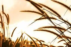 Grass blossom Stock Image