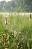 Grass and blossom dust Royalty Free Stock Photos