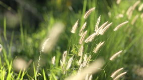 Grass blow through to the wind. In the morning. Grass blowing throught the wind stock video