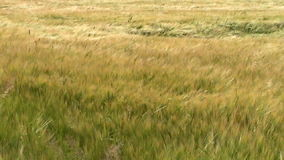 Grass blowing in the breeze. stock footage