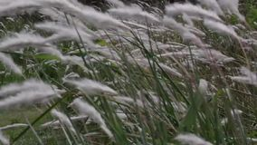 Grass blowing in the wind. On the prairie stock video