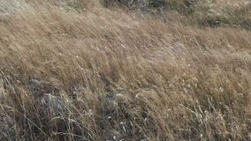 Grass blowing in the wind stock footage