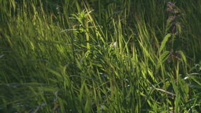 Grass blowing in the wind stock video