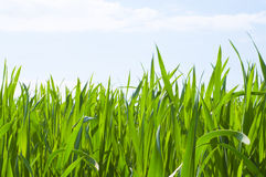 Grass,blue sky Royalty Free Stock Photos