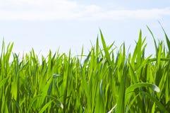 Grass,blue sky. Green grass against blue sky Royalty Free Stock Photos