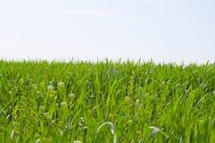 Grass,blue sky. Green grass against blue sky Stock Photo
