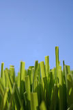 Grass and Blue Sky. Grass with the blue sky for a background Royalty Free Stock Photos
