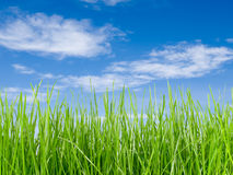 Grass and blue sky. Grass tall and blue sky Royalty Free Stock Photography