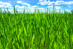 Grass and blue sky Royalty Free Stock Images