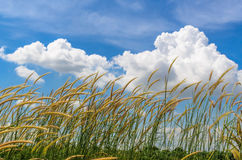 Grass with blue sky and white cloud background Royalty Free Stock Image