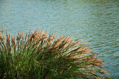 Grass in bord of river Royalty Free Stock Photography