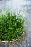 Grass in a bowl for animals. Fresh green grass in a bowl for animals royalty free stock photography