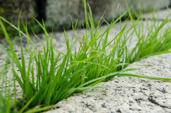 Grass breaking stone open Royalty Free Stock Image