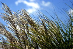 Grass in Breeze. Close-up shot of grass blowing in the breeze against a clear blue sky Stock Image