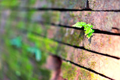 The grass on the brick wall. Royalty Free Stock Photo