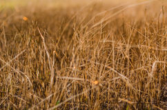 Grass brown plant Royalty Free Stock Photography