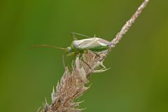 Grass bug Stock Image