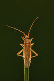 Grass Bug. Bug on a blade of grass soaking the sun Stock Photography