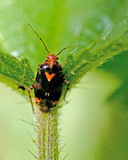Grass bug,  Miridae Deraeocoris ruber Stock Photo