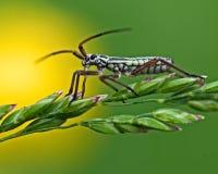 Grass bug, Miridae Leptopterna dolabrata Stock Photo