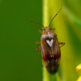 Grass bug, Miridae Lygus pratensis Royalty Free Stock Photo