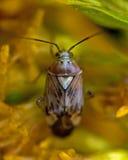 Grass bug, Miridae Lygus pratensis Royalty Free Stock Photos