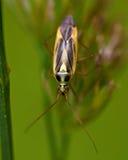 Grass bug, Miridae Stenotus binotatus Royalty Free Stock Image
