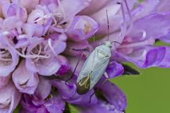 Bug. Grass bug Placochilus seladonicus on the flower. Close up royalty free stock image