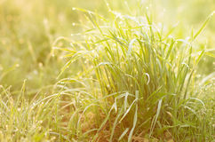 Grass bush Royalty Free Stock Images