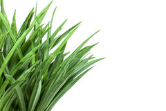 Grass bush on white background Royalty Free Stock Images