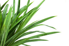 Grass bush on white background Stock Photo
