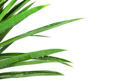 Grass bush on white background Stock Images