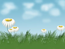 Grass and camomiles on background  of sky Stock Photography