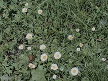 Grass and camomiles Royalty Free Stock Images