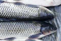 Grass carp Royalty Free Stock Photography