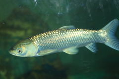 Grass carp. Ctenopharyngodon idellus in Japan Stock Photography